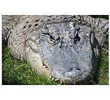 American Alligator Basking Photographic Print