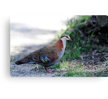 Brush Bronzewing Canvas Print