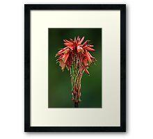 Aloe arborescens flower head Framed Print