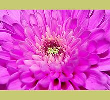 Chrysanthemums by lisa1970