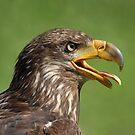 Young Bald Eagle by Gisele Bedard
