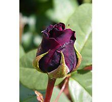 Rose Bud ... Dark Red Photographic Print