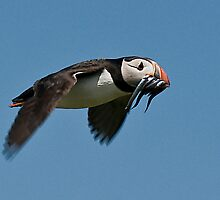 Puffin with Sand Eels in Flight. by Tarrby