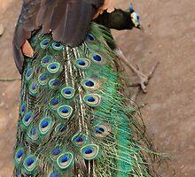 peacock by bayu harsa