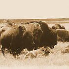 Bison Herd-Blue Mounds State Park, Luvern, Mn by hastypudding