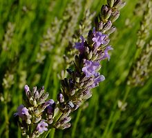 Lavender in morning sunshine by Themis