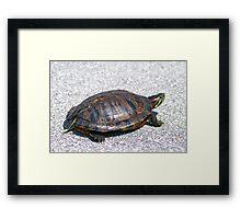 Box Turtle 9934 Framed Print