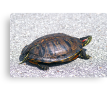 Box Turtle 9934 Canvas Print