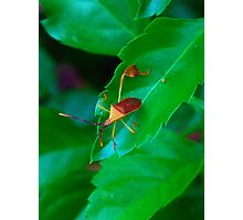 Leaffoot Stink Bug Photographic Print