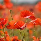 Poppy Fields by Lynne Morris