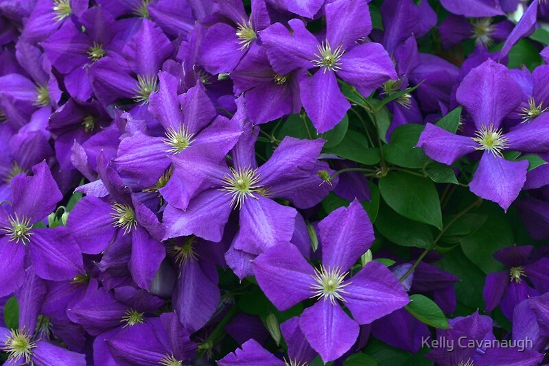 jackmanii clematis by kelly cavanaugh redbubble. Black Bedroom Furniture Sets. Home Design Ideas