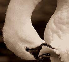 Sepia Swan  by Daysleeper40