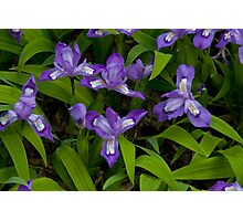 Dwarf Crested Iris Photographic Print