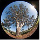 Suburban Gum Tree by Pauline Tims
