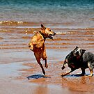 Atlantic Cowdogs by SamTheCowdog