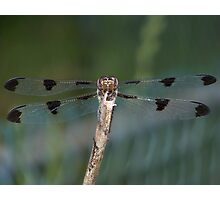 Nose to nose with a female Twelve-Spotted Skimmer. Photographic Print