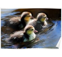 3 young ducks swimming in formation Poster