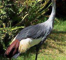 The Bird with tuft (Grew Crowed Crane) by loiteke