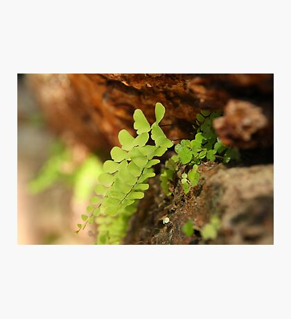 Ferns in the stonework Photographic Print