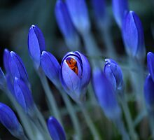 A Peeping Crocus by saxonfenken
