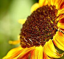 Sunflower by pixel-cafe .de