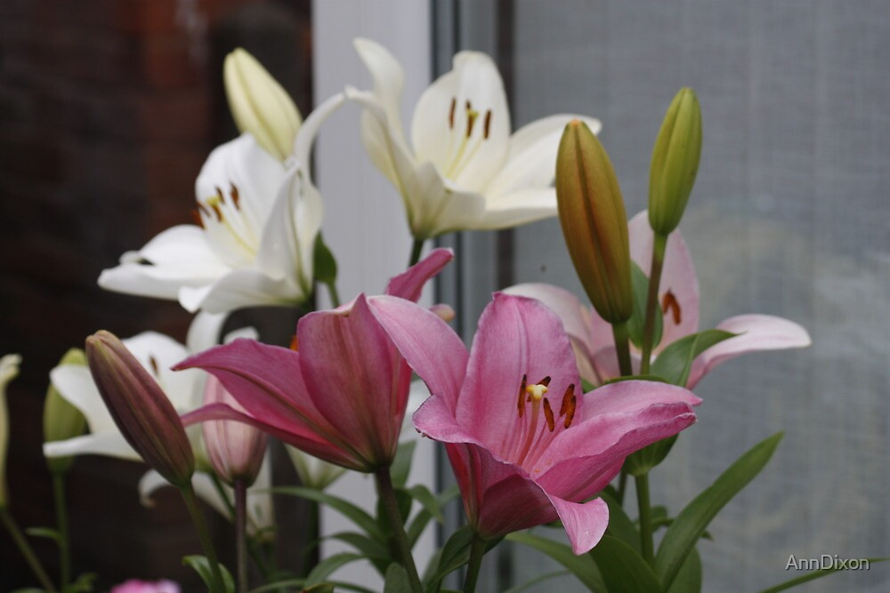 Lily Collection by AnnDixon