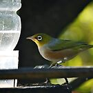 Silvereye by Faith Barker Photography