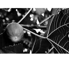 Fig Leaf B&W-Rancho Cucamonga, Ca Photographic Print
