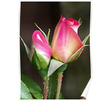 Two Rose Buds Poster