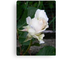 White Rose Bud Canvas Print