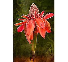 Kym's Red Torch Ginger Photographic Print