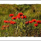 Bamburgh Poppies by ten2eight