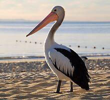 Pelican Sunset by voir