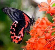 Great Mormon Butterfly by Theresa Elvin