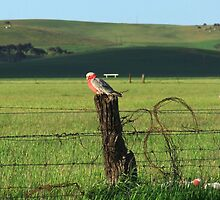 Fence sitters.. by kurrawinya