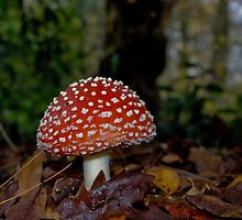 Fly Argaric Toadstool by photomusdigital