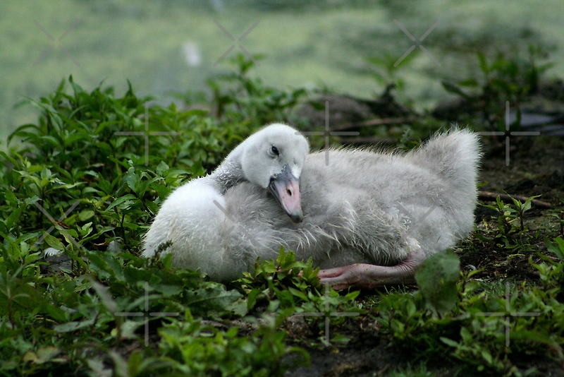 Nap Time, Little Swan by mikrin