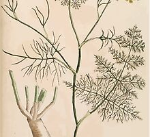 A curious herbal Elisabeth Blackwell John Norse Samuel Harding 1739 0096 Fennel by wetdryvac