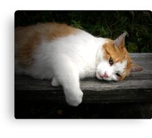 Cat on a hot wooden bench Canvas Print