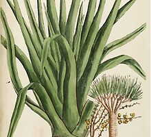 A curious herbal Elisabeth Blackwell John Norse Samuel Harding 1739 0272 The Dragon Tree by wetdryvac