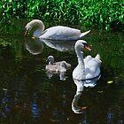 swans and cygnets, Goresbride, County Kilkenny, Ireland by Andrew Jones
