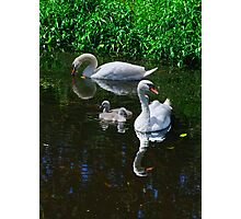 swans and cygnets, Goresbride, County Kilkenny, Ireland Photographic Print