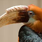 Papuan Hornbill by Rick Montgomery