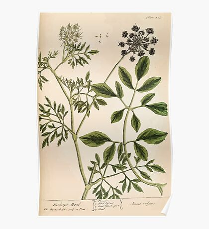 A curious herbal Elisabeth Blackwell John Norse Samuel Harding 1739 0494 Bishop's Weed Poster