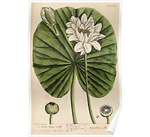 A curious herbal Elisabeth Blackwell John Norse Samuel Harding 1739 0622 The White Water Lilly Poster