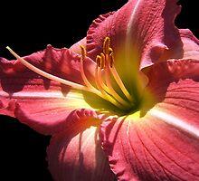 Cherry Lily © by Dawn M. Becker