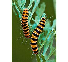 Cinnabar moth caterpillar Photographic Print
