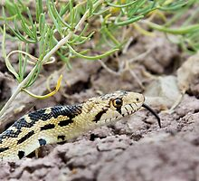 Great Basin Gopher Snake by Kim Barton