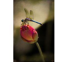 Lotus Bud and Dragonfly On the Lily Pond Photographic Print