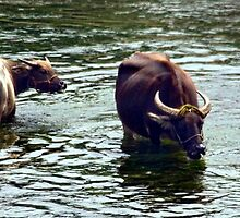River Li Water Buffalo by phil decocco